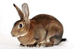 """Кролик породы """"великан"""""""