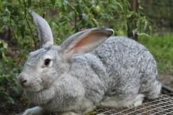 Порода кроликов - Великан серый