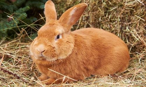 Красивый Бургундский кролик