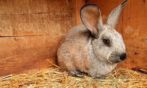 Правила забоя и разделки кролика