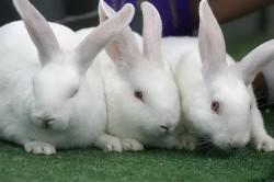 """Кролики породы """"Белый великан"""""""