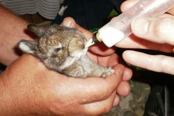 Дополнительное кормление крольчонка