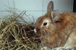 Кролик болеющий кокцидиозом