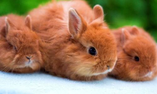 Лисьи карликовые кролики