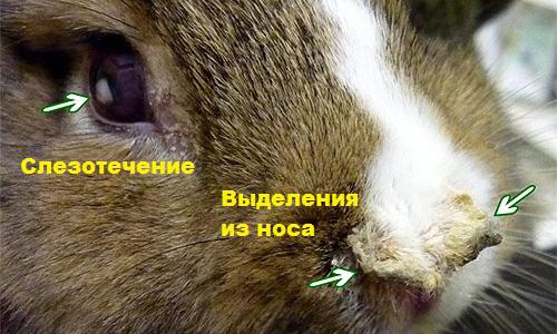 Насморк и чихание у кролика