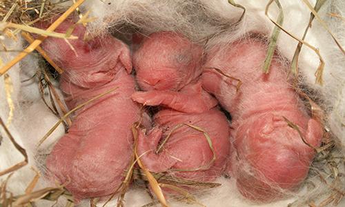 Новорожденные кролики в домике