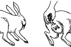 Определение пола кролика