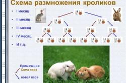 Схема размножения кроликов