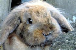 Упадок сил у больного кролика