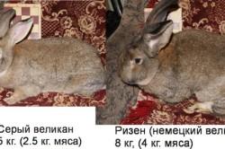 Виды кроликов Ризен