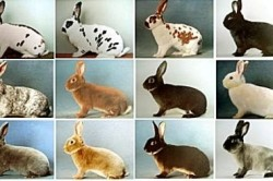 Виды кроликов породы Рекс
