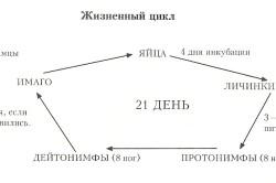 Жизненный цикл ушного клеща