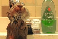 Процесс купания кролика
