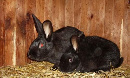 Чёрно‑бурый кролик