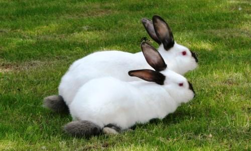 Русские кролики
