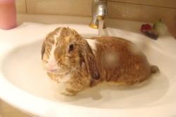Полное купание кролика