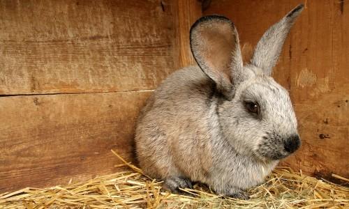 Проблема стоматита у кролика