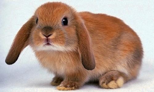 Обычный кролик