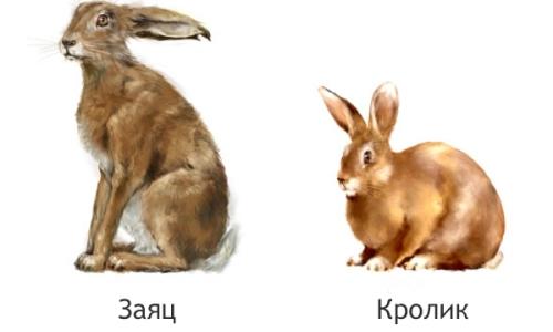 Отличие кролика от зайца
