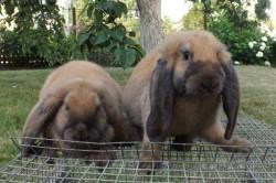 """Кролик породы """"французский баран"""""""