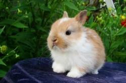 Жизнь карликового кролика