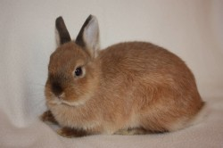"""Кролик породы """"карликовый рекс"""""""