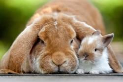 Ожирение у кролика
