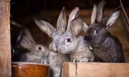Правильное разведение кроликов в домашних условиях