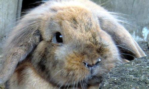 Проблема насморка у кролика