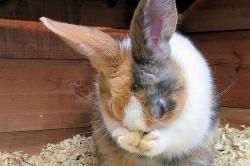 Зуд на мордочке у кролика