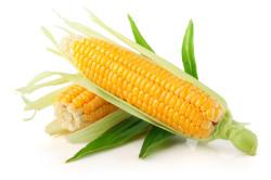 Кукуруза для кормления кроликов