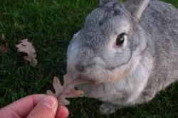 Беременная крольчиха