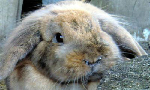 Заразный или инфекционный ринит у кроликов