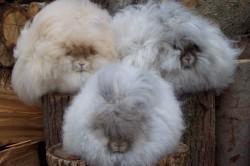 Ангорские пуховые кролики