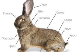 Внешнее строение кролика