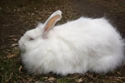 За год с одного пухового кролика можно состричь до 700 г пуха.