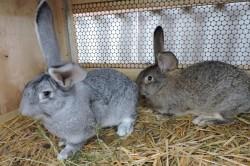 Адаптация кроликов