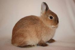 Длиношерстный лисий кролик