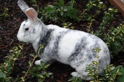 Кролик-породы-рекс на природе