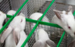Болезни кроликов опасные для человека