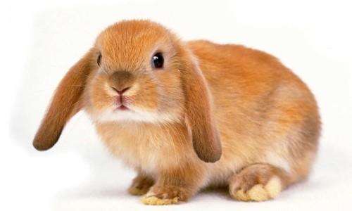 Почему кролик кусается когда лижется