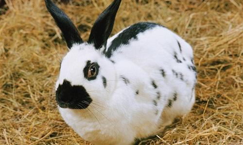 Здоровый от болезней кролик