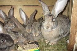 Самка породы фландр с крольчатами