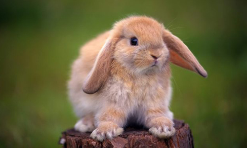 Проблема ушного клеща у кроликов