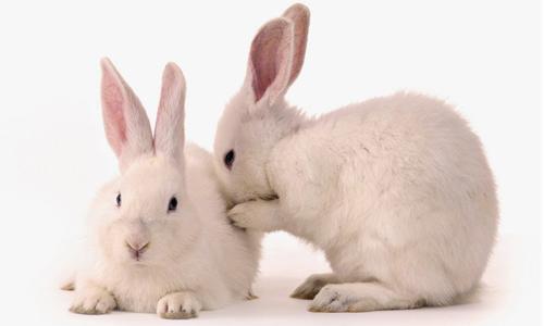 Заболевание кроликов инфекционным стоматитом