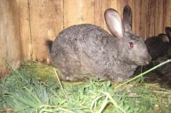 Причина запора у кролика