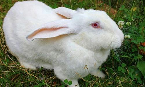 Белый кролик-великан