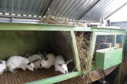 Кролики-великаны в сарае
