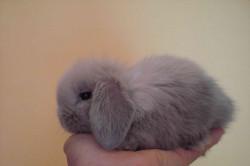Декоративный маленький кролик породы карликовый баран