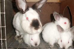 Семья кроликов породы русский горностаевский